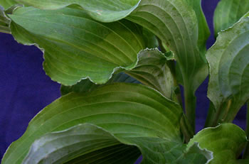 Hosta Seedling -William and Eleanor Lachman Award for Best Seedling as chosen by the AHS Judges