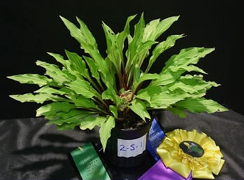 Hosta Seedling - Winner Best of Class 2 (gold)