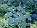 Hosta Lady Amy