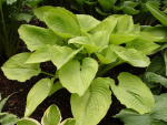 Hosta Star Power
