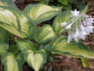 Hosta Beautiful Dreamer