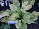 Hosta Candle in the Dark