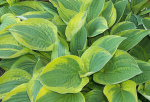 Hosta Ghostface