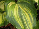 Hosta Good Golly Miss Molly