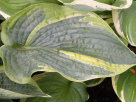 Hosta Lovely To Behold