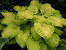 Hosta Made You Look