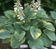 Hosta Misty Mary Ann