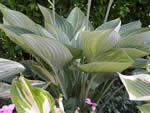 Hosta Primal Scream