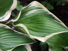 Hosta Red Hot Poker