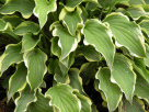 Hosta Ruffle My Feathers