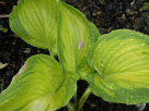 Hosta Seduced