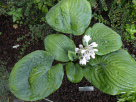 Hosta Simple Pleasure