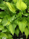 Hosta Sweet William