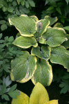 Hosta Teacher's Pet